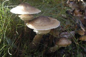 armillaria_ostoyae_-_lindsey